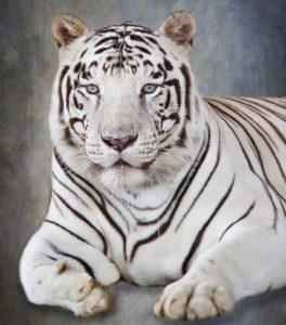 White tiger 264x300 - Magic Beyond Belief Returns to Smoky Mountain Opry!